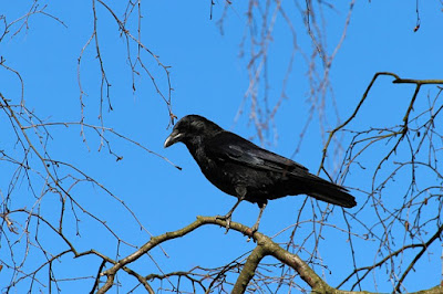 Tree Animals: Animals that live in trees, crow