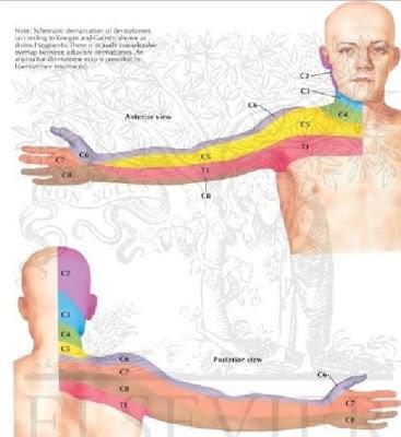 dermatome dan myotome anterior posterior tangan
