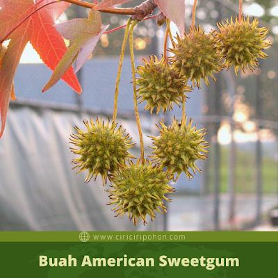 Ciri Ciri Buah American Sweetgum