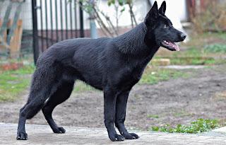 كلب الراعي الألماني
