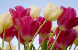 Gambar Bunga Tulip Cantik 2