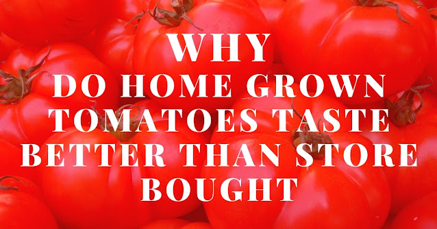 Why do home grown tomatoes taste better than store bought
