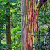 Eucalyptus deglupta - O Eucalipto arco-iris