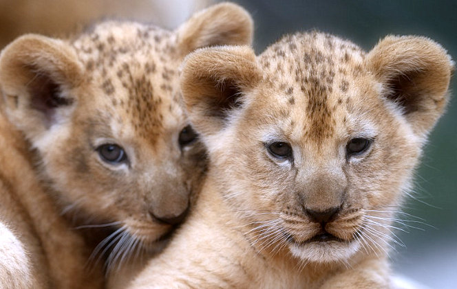 2-rare-Barbary-lion-cubs-born-in-a-Czech-zoo