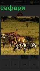 На поле спокойно ходят жираф и зебры. Готовое сафари для осуществления охоты на диких зверей