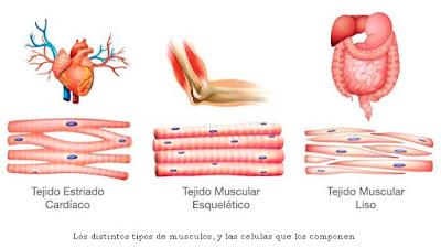 ¿Cómo funcionan los músculos?