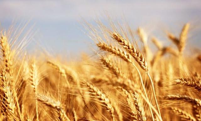 لا إمكانية لتعويض مزارعي القمح والشعير بالسويداء عن الأضرار جراء انحسار الأمطار!!