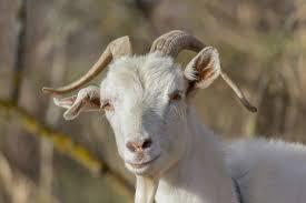 ternak kambing jawa