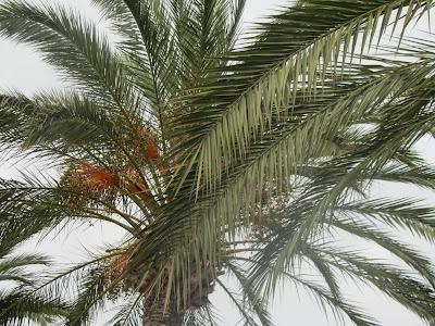 Foglie e Chioma Palma da Dattero
