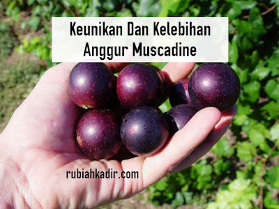 Anggur Muscadine Dalam Vivix Shaklee