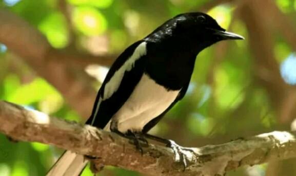 Mengetahui Karakter Burung Kacer Ketika Berkembang Biak Di Alam Liar Sukses Perawatan