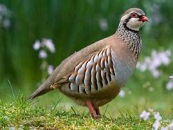 partridge symbolism