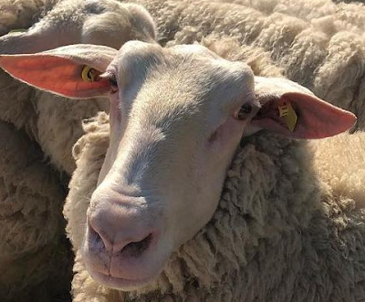 Awassi Sheep Origin, Facts, Wool, Milk Production, Meat Quality