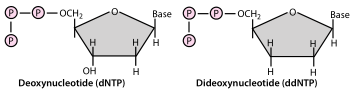 Dideoxynucleotides