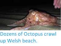 http://sciencythoughts.blogspot.co.uk/2017/10/dozens-of-octopus-crawl-up-welsh-beach.html