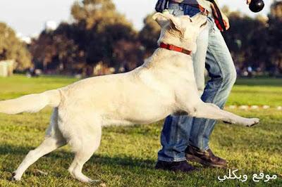 كلاب اللابرادور مع الأطفال والحيوانات الأخرى