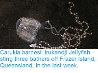 http://sciencythoughts.blogspot.com/2018/12/carukia-barnesi-irukandji-jellyfish.html