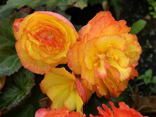 Begonia x tuberhybrida 'Nonstop Fire'