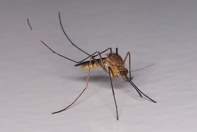 Desinsectaciones Sevilla: avispas, mosquitos, mosca negra
