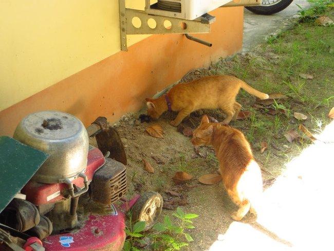 Два рыжих кота смотрят в норку змеи