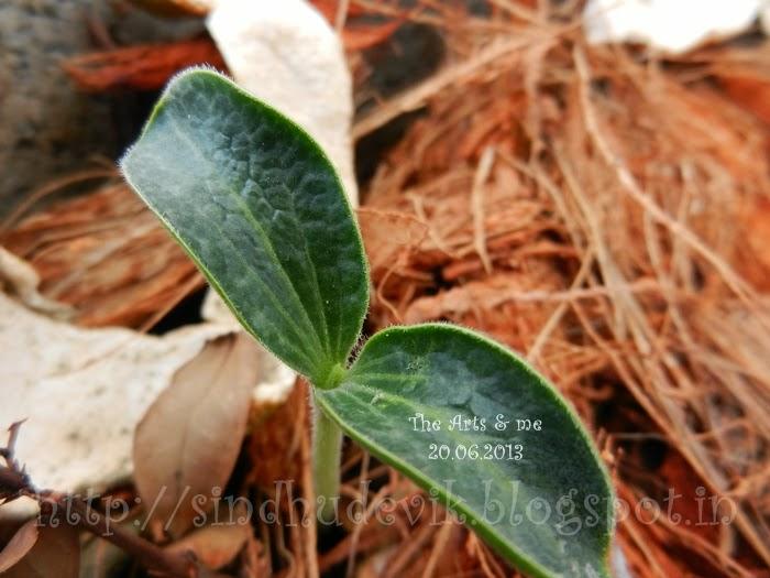 Pumpkin seedlings with two dark green cotyledons.