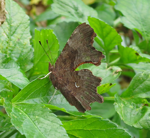 Comma Butterfly (Polygonia c-album) sitting on the leaves of Alexanders - wings closed.