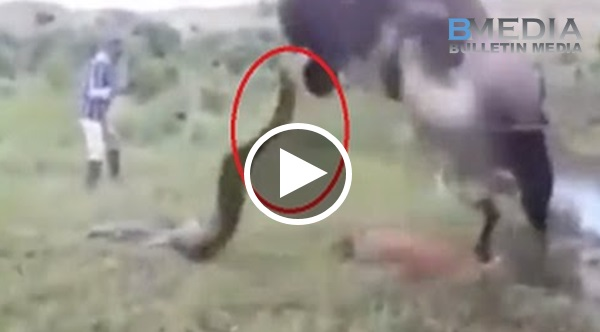 Anak Digigit Oleh Ular Sampai Mati!! Lembu ni Kuat Marah Cari Ular Balas Dendam Dgn Cara Ni!!!