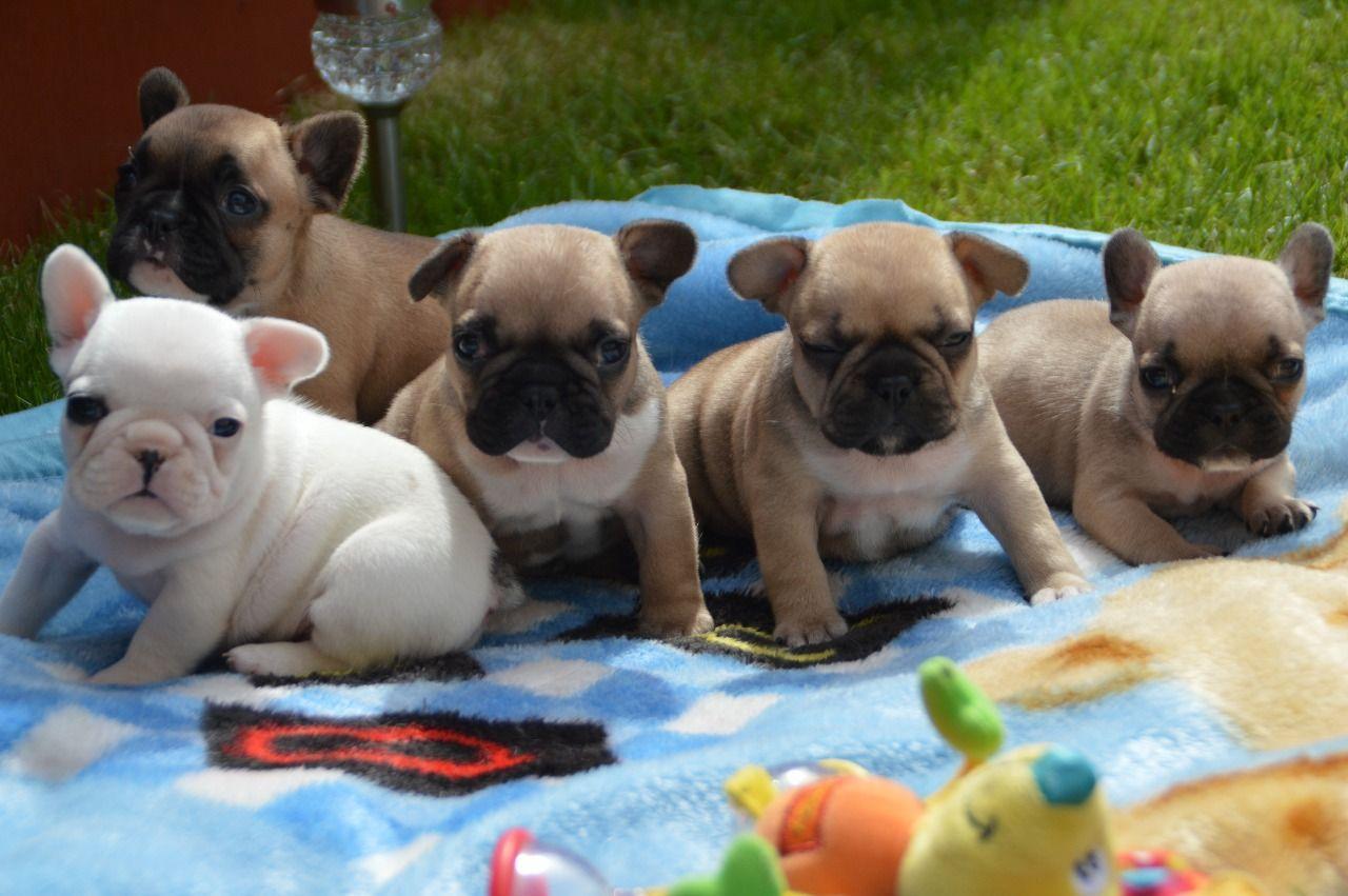 akc french bulldog puppies for sale | +1(240) 230-7554 ~ akc