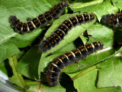 Lemonia taraxaci caterpillar