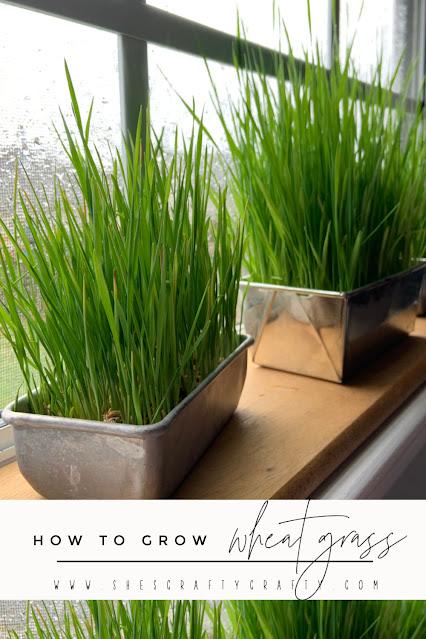How to grow Wheat Grass - pinterest pin.