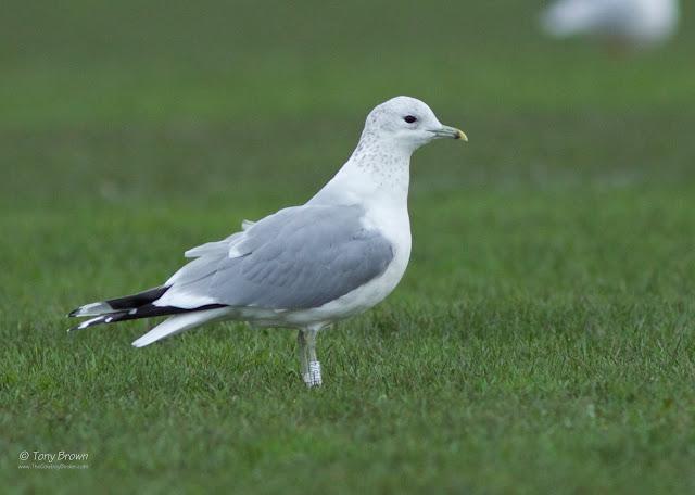 Darvic, Mew Gull