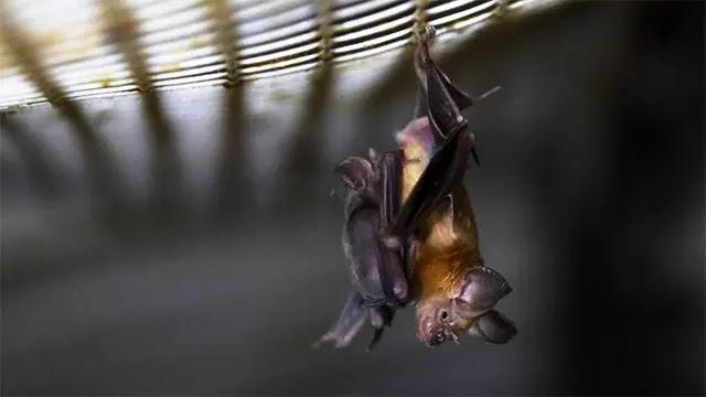 هل الخفافيش لها علاقة بظهور فيروس كورونا ؟