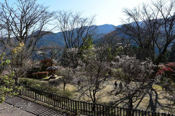 城峰公園の冬桜5
