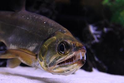 Ikan Payara Armatus Atau Vampire Fish
