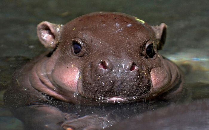 23 Adorable Baby Hippos That Will Make Your Day