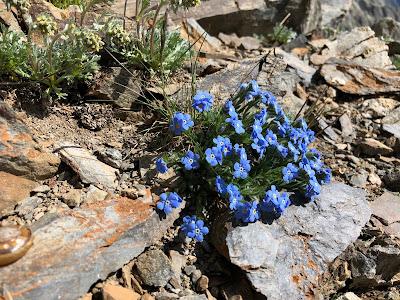 [Boraginaceae] Eritrichum nanum – Arctic Alpine Forget-me-Not (Eritrichio nano)