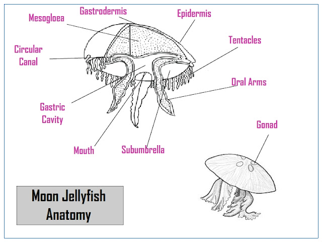 Moon jellyfish anatomy