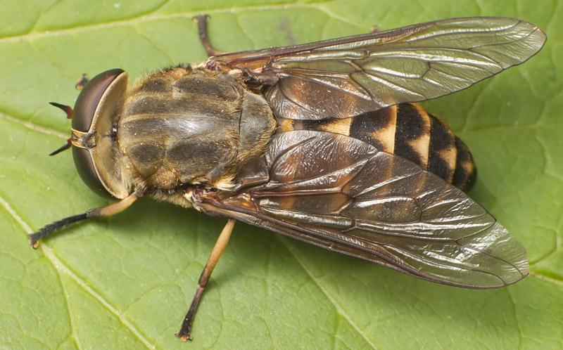 Mutuca (Tabanus bovinus)