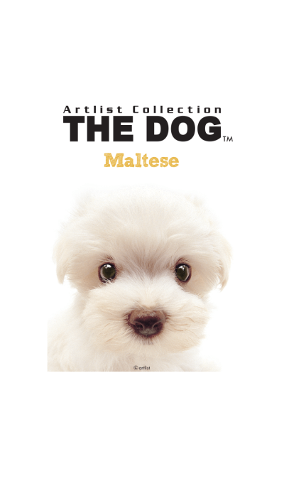 THE DOG Maltese