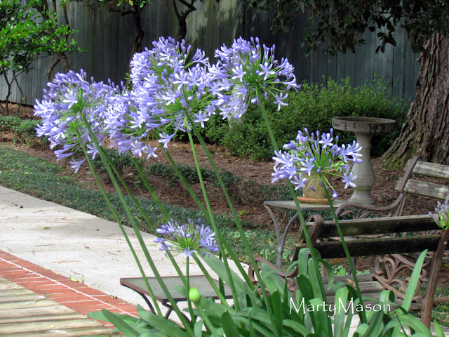 Agapanthus - Lily of the Nile - in the garden of Marty Mason