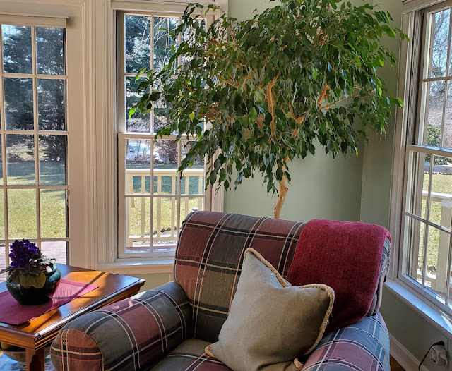 A Ficus tree will thrive in your home for many years.