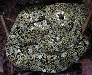 Bothrops taeniatus