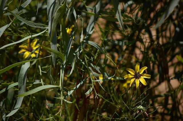 berlandiera lyrata, chocolate flower, small sunny garden, garden bloggers bloom day, amy myers, desert garden