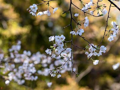 Yama-zakura (Cerasus jamasakura (Sieb. ex Koidz.) H.Ohba)) flowers: Kencho-ji
