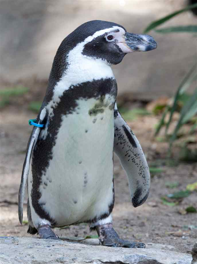 http en wikipedia org wiki humboldt penguin the humboldt penguin ...