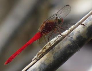 Rhodopygia hinei, Tropical Amberwing