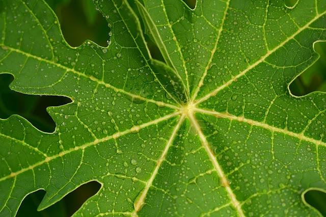 Obati demam berdarah dengan daun kates
