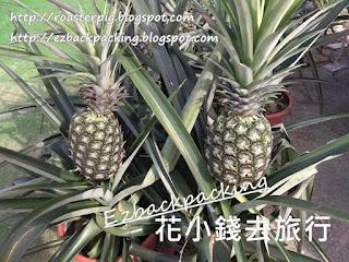 香港摘菠蘿農莊
