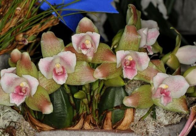 Gambar Bunga Anggrek Lycaste