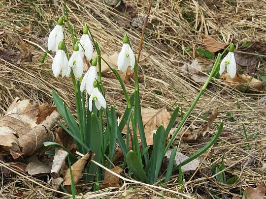 Śnieżyczka przebiśnieg (Galanthus nivalis L.).